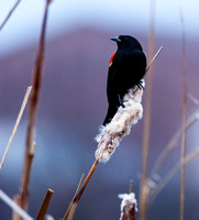 Red-winged Blackbird, Union Bay